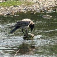 Ворона-рыболов :: Вера Щукина