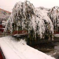 Ива под снегом,как собачка. :: Наталья Золотых-Сибирская