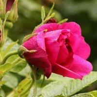 Цветёт шиповник в октябре :: Вера Моисеева