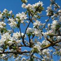 Весны цветенье... (этюд 8) :: Константин Жирнов
