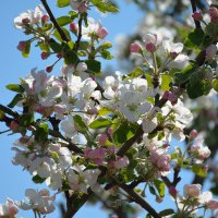 Весны цветенье... (этюд 9) :: Константин Жирнов