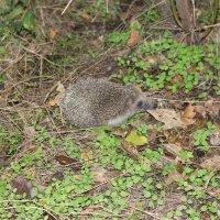 Маленький ежик, четвероножек, по лесу идет, идет, фыфки собирает, песенку поет)))) :: vcherkun
