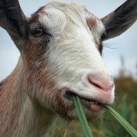 Удивлённая коза.))) :: Наталия Скрипка