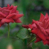 Монастырские розы. :: kolin marsh