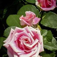 Розы :: Лариса Димитрова