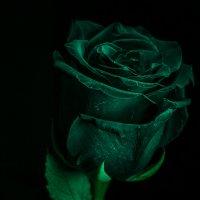 Роза :: Геннадий Хоркин