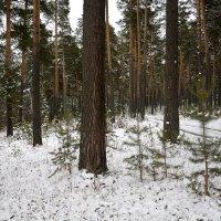 Сосны в снегу... :: Дмитрий Петренко