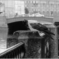 портрет вороны у Синего моста :: sv.kaschuk