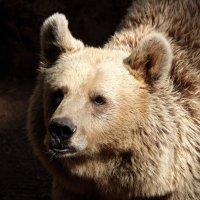 медведь сирийский :: Александр Деревяшкин