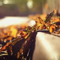 Вечерний свет сквозь осени листьев :: Алексей Румянцев