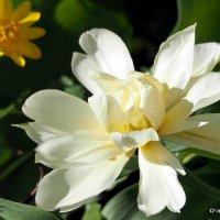 городские цветы-тюльпан :: Олег Лукьянов