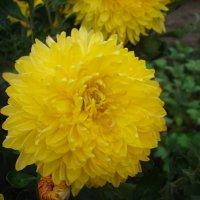 Желтая хризантема :: марина ковшова