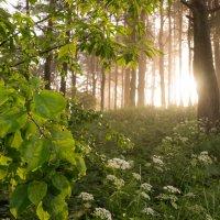 В утреннем лесу :: Олег Козлов