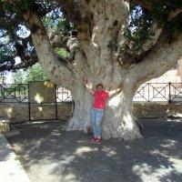 У столетней оливы :: tgtyjdrf