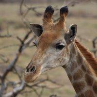 Жирафа :: Julia A
