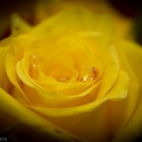 роза :: Юлия Мирош