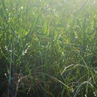 роса, лето, ранее утро, травка, зелень :: Алена Булдина