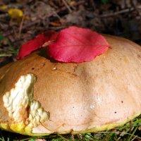 Кто-то грибок попробовал на зубок :: Андрей Заломленков