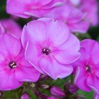 Цветы. :: Светлана Н