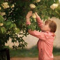 Сирень цветет :: Вера Сафонова
