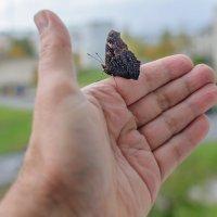 Бабочка решила погреться на моей руке... :: Анатолий Клепешнёв