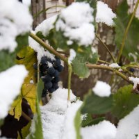 Урожай под снегом :: Ольга Токмакова