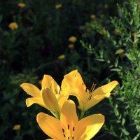 Желтая Лилия знак..... :: Дмитрий Скубаков