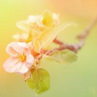 Яблони в цвету :: Александр Поляков