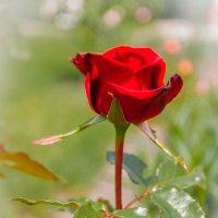 Роза :: Александр Манько