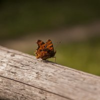 butterfly :: Maryan Kurnat