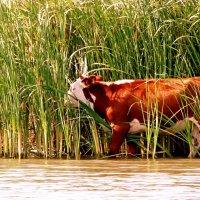 Корова в камышах :: Игорь Попов