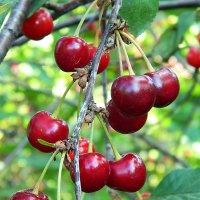 Спелые вишни. :: Александр Бурилов
