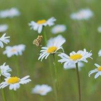 Бабочка и ромашки :: Елена Емельянова