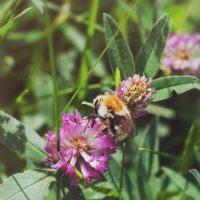 Пчела :: Елена Емельянова