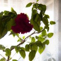 Домашний цветочек :: Виктория Ташланова