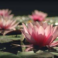 Про водяные лилии , что на пруду моем. :: Елена Kазак