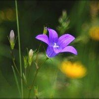Про колокольчик в поле синий..... :: Елена Kазак
