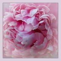 Розовое великолепие :: Николай Белавин