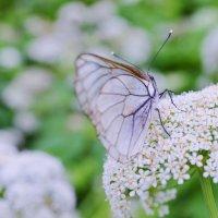 бабочка :: Афродита Фотолюбитель
