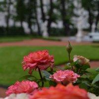 Розы :: Мария Синельщикова
