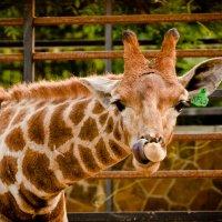 жирафа в носу ковыряется))) :: Ольга Шестакова