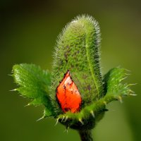 Рождение цветка :: Владимир Анакин