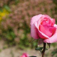 Роза :: Ирина Татьяничева