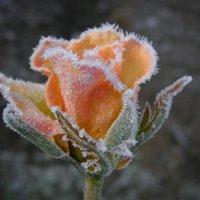 Роза после мороза. :: Елена Kазак