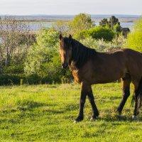 Красивый конь :: Карина Гусарева