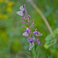 Бабочки :: Yrii Badin