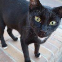 египетский кот :: Нина Зорич
