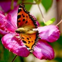 Бабочка на солнышке) :: Марина Анохина
