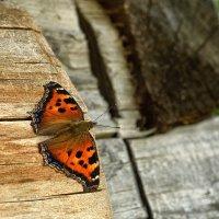 Бабочка :: Дмитрий Гришечко