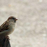 Маленькая, но гордая птичка...:) :: Alent Vink